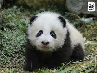 Pin Baby Panda Bear