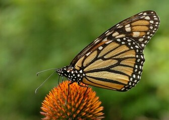 Monarch Butterfly 41 Desktop Background   Hivewallpapercom