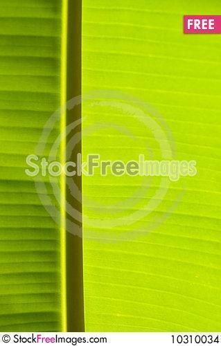 Banana Palm Tree Green Leaf   Stock Photos Images   10310034