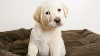 Labrador wallpaper 169766