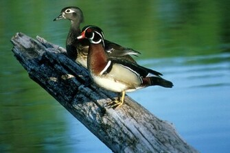 Wood Ducks The Wood Duck or Carolina Duck is a species of perching