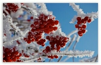 Berries In Winter HD wallpaper for Standard 43 54 Fullscreen UXGA