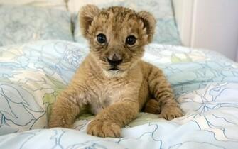 Cute Baby Lion Cub wallpaper   ForWallpapercom