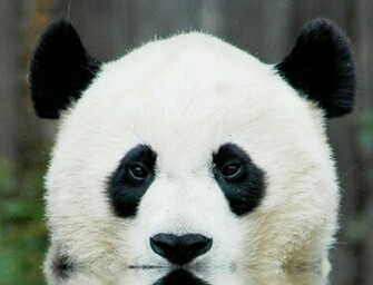 HD Wallpaper Backgrounds of Panda Bear Home Panda Bear Pictures