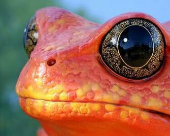 Cool Orange Frog Wallpapers Cool Orange Frog HD Wallpapers Cool