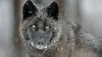 Gray Wolf   Wallpaper 32760