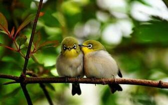 Tag Love Birds Desktop Wallpapers Backgrounds Paos Images and