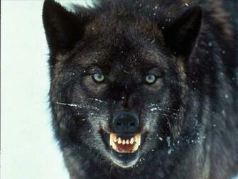 Wolf Wallpaper 10665 Hd Wallpapers in Animals   Imagescicom