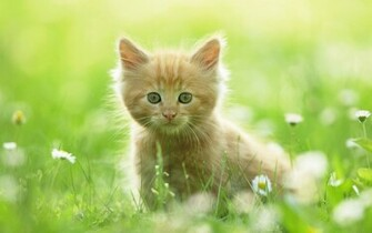 Cute Kitten Wallpapers HD Wallpapers