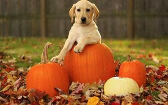 Lab Puppy in Pumpkin Desktop Wallpaper Background Desktop Wallpaper