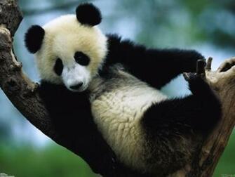 Panda bear wallpaper 22981   Open Walls