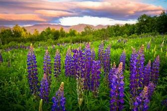 New Hampshire lupine meadow wallpaper 2048x1365 153332