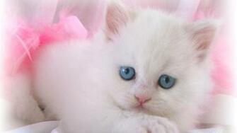Download Cute White Cat Kitten Wallpaper Full HD Wallpapers
