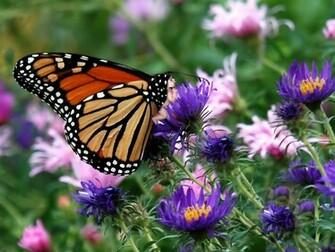 butterfly photos backgrounds wallpaper butterfly wallpapers desktop