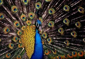wallpaper Indian Blue Peacock Wallpapers National Bird of India