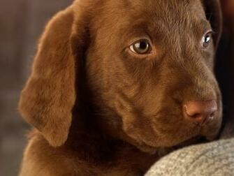 Chocolate Lab Puppy Wallpaper Animals chocolate lab puppy picture nr