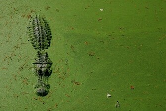 Alligator Immersed in the Swamp