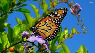 butterfliesmonarch monarch butterflies Butterflies Wallpapers