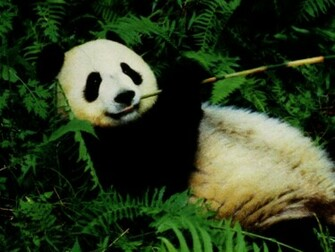 Beautiful Panda Bear Wallpapers Desktop HD