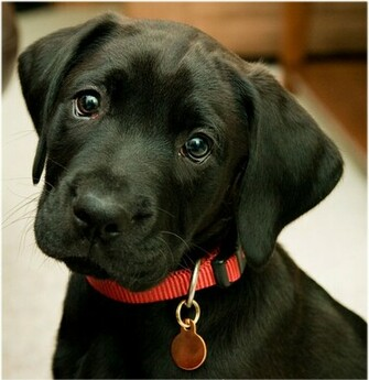 labrador retriever black 18 The Dog Wallpaper