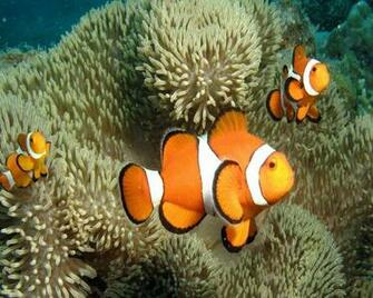 Cute Clown Fish Wallpaper   1280x1024 iWallHD   Wallpaper HD