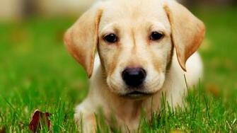 Cute Puppy Wallpaper   Download Wallpaper Nature
