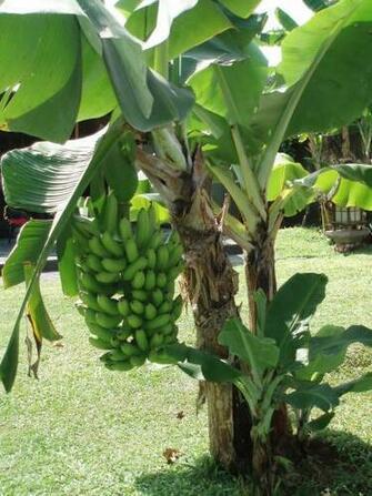 Plants Banana Tree