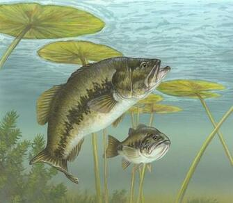 Largemouth Bass Wallpaper For Desktop Images amp Pictures