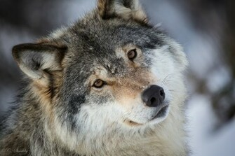Wallpaper wolf gray wolf face eyes portrait wallpapers animals