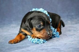 Pics Photos   Miniature Pinscher Puppies Cute Funny And