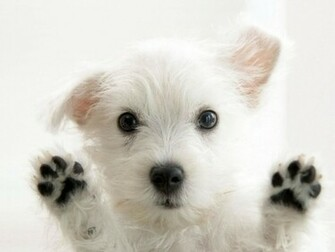 View Cute Little White Dog wallpaper Download Cute Little White Dog