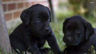 Black Labrador Puppies wallpaper   Animal wallpapers   27901