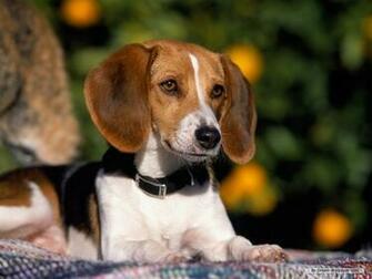 Beagle Wallpaper   Dogs Wallpaper 7013936