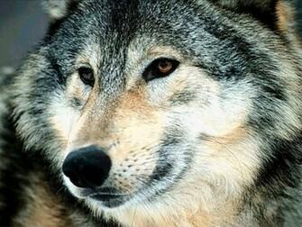 Wolves wolves 7896534 1024 768jpg