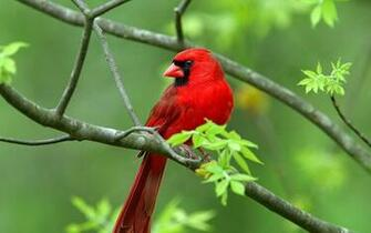 Cardinal Perched on Branch PC Wallpaper HD Wallpaper