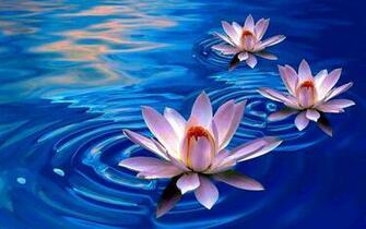 Lotus Flower Wallpapers