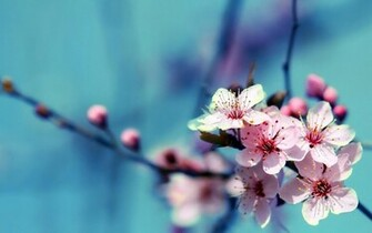 Cherry Flower Full HD Desktop Wallpapers 1080p