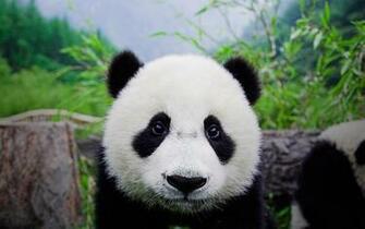 Cute Panda Bears HD Wallpapers Desktop Wallpapers