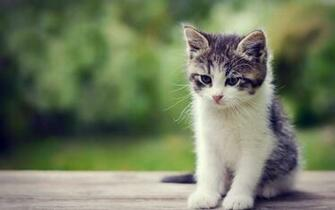 Cute Little Kitten Exclusive HD Wallpapers 6811