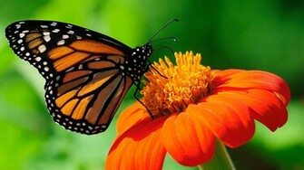 Monarch Butterfly Wallpaper For Dekstop Backgr 37837 Full HD Wallpaper