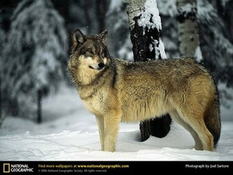 Wolf Picture Wolf Desktop Wallpaper Wallpapers Download