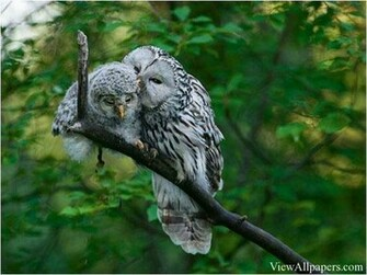 Animal Planet Owls In Love High Resolution download Animal