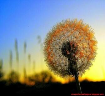 Dandelion for Dandelion Sunset Flower Desktop Wallpaper Desktop