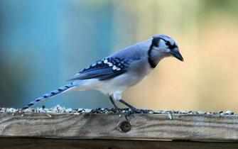 Download Cute Blue Jay Bird Wide Wallpaper Full HD Wallpapers