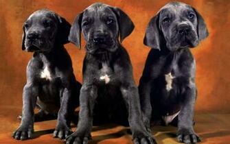 Black Lab Puppies desktop wallpaper