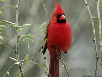 Desktop Wallpapers Animals Backgrounds Cardinal www