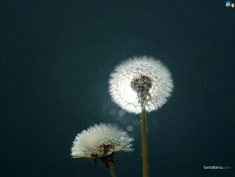 Blowing Dandelion Wallpaper