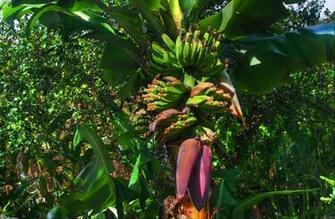 Banana tree wallpaper 22723   Open Walls