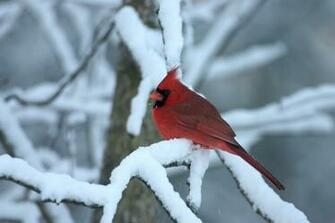 Related to Winter Cardinal Wallpaper Background