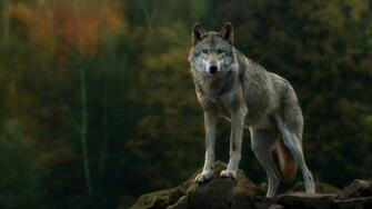Gray Wolf Computer Wallpapers Desktop Backgrounds